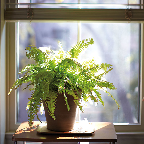 boston-fern-mbd108194.jpg